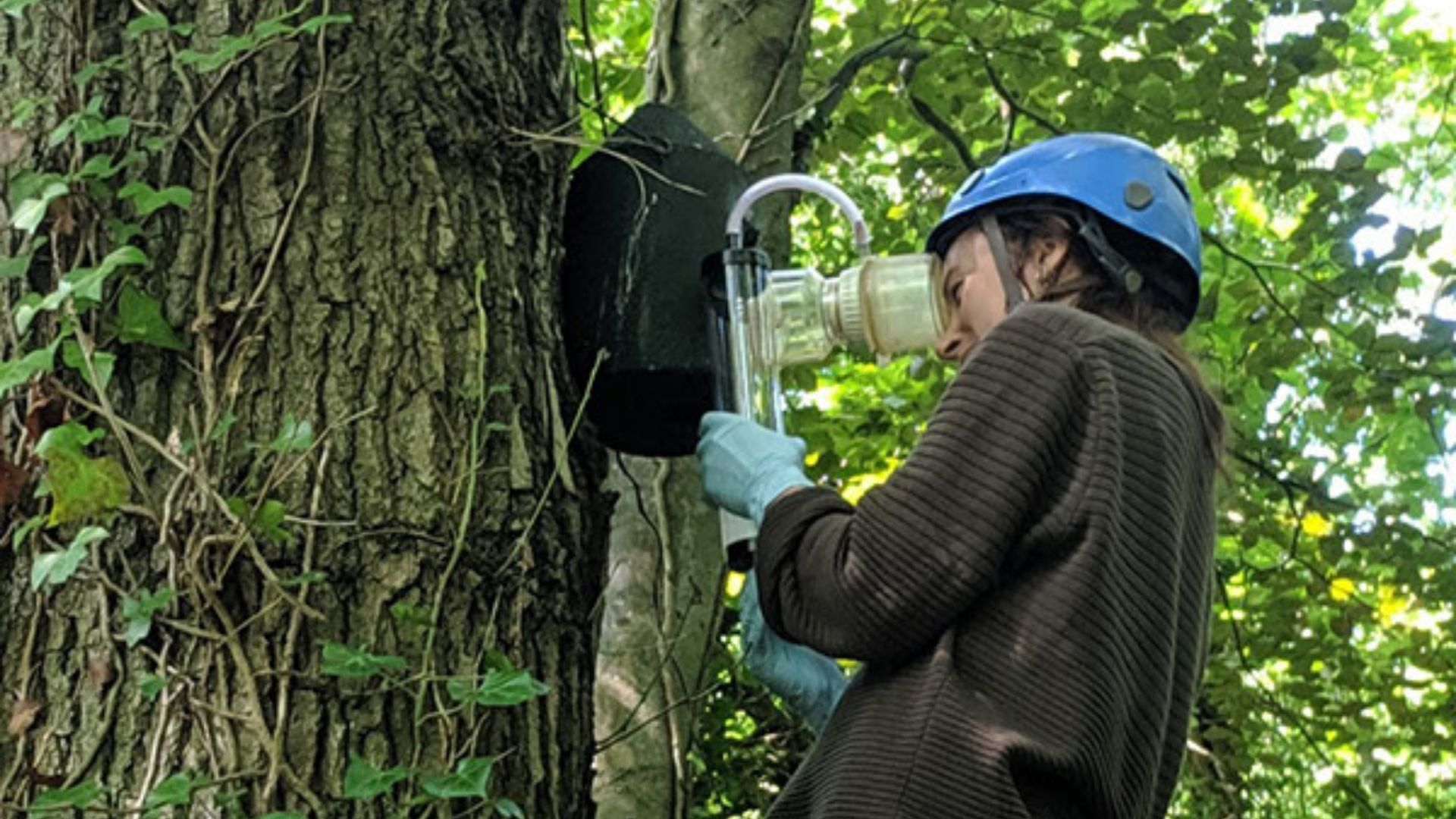 Woman in blue helmet climbing tree and using device to monitor animal habitat